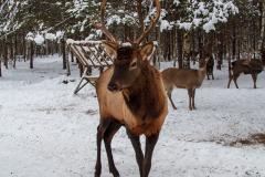 Олени в снежном лесу